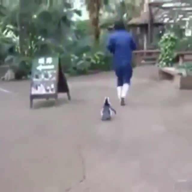 تصوير متحرك پنگوئن پيگير