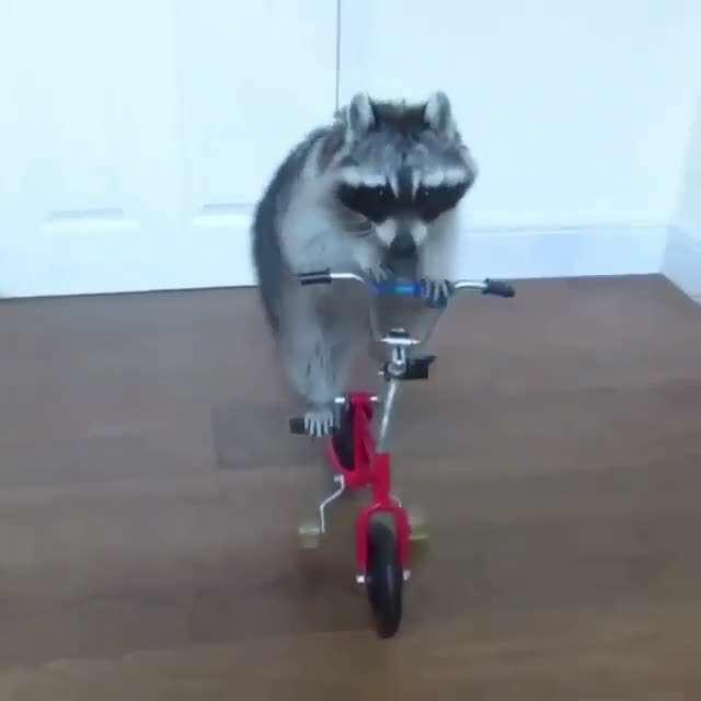 تصوير متحرك راكون دوچرخه سوار