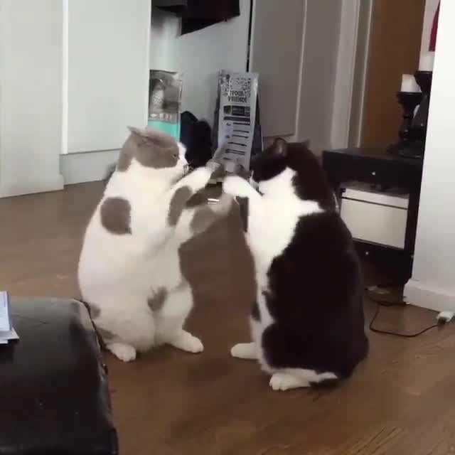 تصويرمتحرك دعواي دو گربه خسته