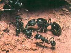 چطور مورچه ها راه لانه شان را پیدا می كنند؟