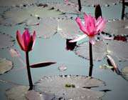 گل مرداب