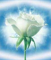 رز سفید