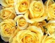 رز زرد