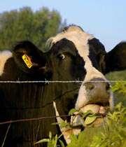 قیمت گاو شیری اسرائیلی