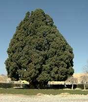اكبر شجرة في العالم موجودة في ايران
