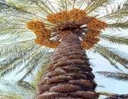 hurma ağaci