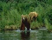 خرس ایرانی زیبا و باشکوه