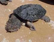 لاکپشت ماتا ماتا