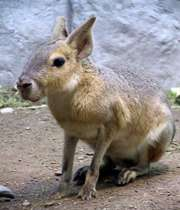 خرگوش پاتاگونیان مارا