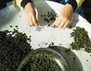 خشک کردن برگ های گیاه چای