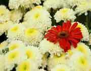 گل داوودی