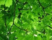 ہرے رنگ کا درخت