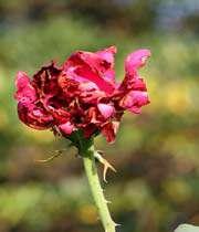 گل پژمردہ