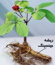 گیاه جینسینگ
