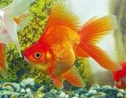 ماهي قرمز نوروز