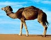 camel or jamal