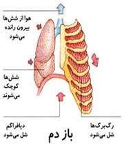 ماکت ریهها