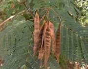 درخت شبخسب 2