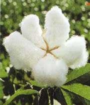 کپاس کا پھول