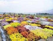 les jardins et serres où sont cultivées de multiples variétés de fleurs, mahallat
