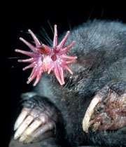 موش کور دماغ ستاره ای