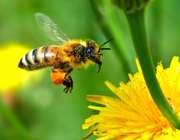 زنبورهاي عسلي