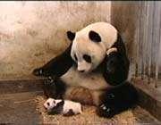 une maman panda et son petit
