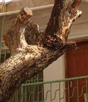 الشجرة التي تيکي