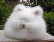 خرگوش پشمالو
