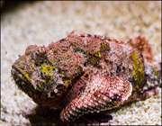 ماهی سنگی