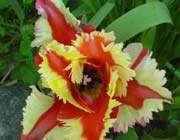 une tulipe