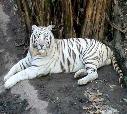 أفغانستان تنجح فى حماية النمور الثلجية المهددة بالانقراض