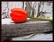 یک گل بهار نیست