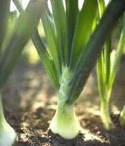 تره فرنگی، سبزی پُر خاصیت