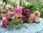 la saison des roses