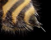 نيش زنبور