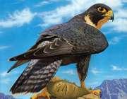 شاهین، پرنده