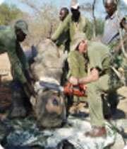 носорогам отпиливают рог под наркозом