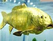 ماهی طلایی