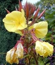 گل مغربي