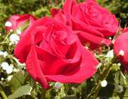 الورد