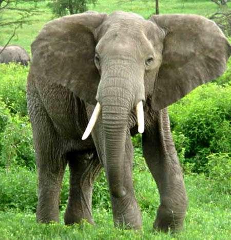 فیل های ترسو