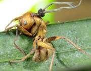 النمل الزومبي