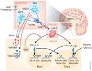 کیس-پپتین؛ درمانی برای ناباروری