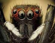 une araignée sauteuse