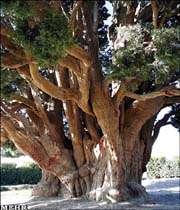 یزد میں دنیا کے قدیم ترین درخت