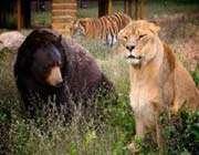 dişi aslan ve ayı kapışması