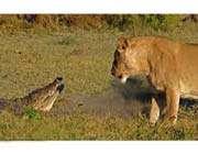 aslan ve timsah karşı karşıya