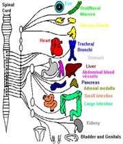 نتیجه تصویری برای توسعه سیستم عصبی