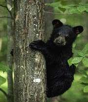 bear-baby